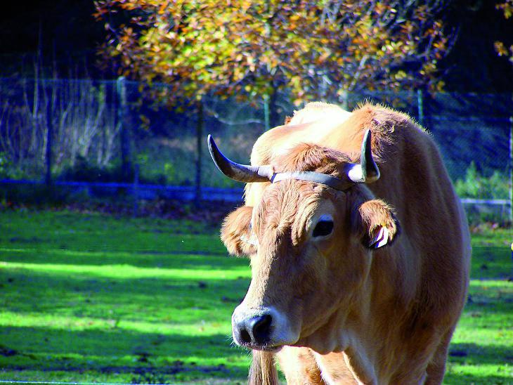Comerciante constituído arguido por furto de vaca