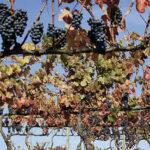 Anadia em busca de ideias de negócio da vinha e do vinho