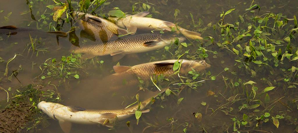 Oliveira do Bairro: Peixes mortos no Rio Cértima