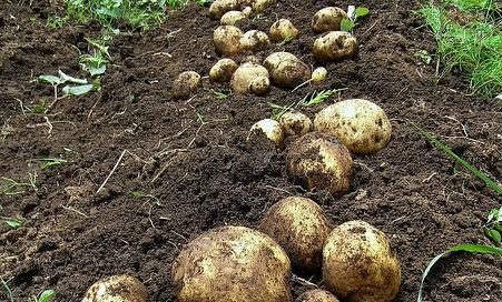 Ministro da Agricultura responde a autarca de Anadia e diz que não é possível tabelar preços para a batata (atualização)