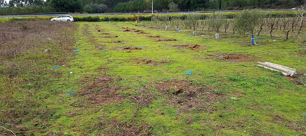 Amoreira da Gândara: Assalto limpou totalmente um olival de 29 árvores