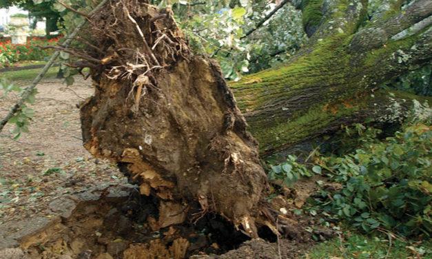 Cantanhede: Duas árvores do jardim municipal vão ser abatidas