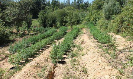 GNR apreendeu 121 plantas de cannabis em Arrancada do Vouga (Com vídeo)
