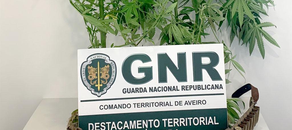 Águeda: Detido por cultivo de cannabis em Arrancada do Vouga